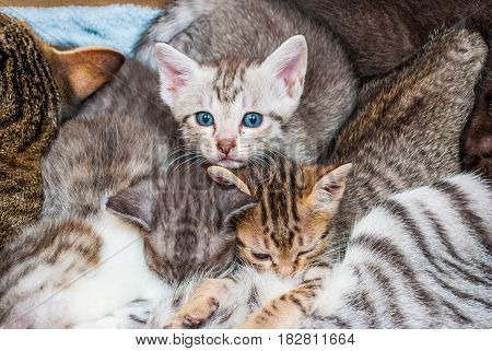 Closeup To Blue Eyes Kitten With Family
