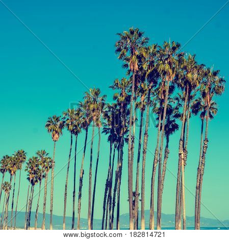 California high palm trees on the blue sky background vintage toned and stylized retro style Santa Barbara square Instagram format