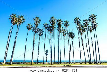 California high palm trees on the beach near the ocean blue sky background Santa Barbara