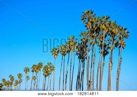 California high palm trees on the the beach blue sky background Santa Barbara