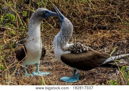 Blue footed booby couple in Galapagos Islands