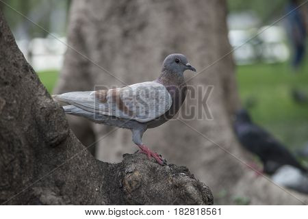 Pigeon on the Park in Bangkok with selective and soft focus.