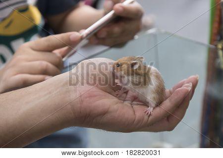 Animals at home. Friendly pet brown rat in human hand indoor
