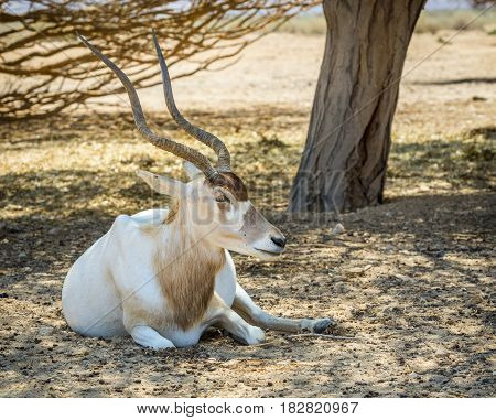 Curved horned antelope Addax (Addax nasomaculatus) was introduced from Sahara desert and nowadays adopted in nature reserve near Eilat, Israel