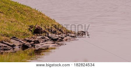 Large adult duck standing on shore of lake looking for food between large stones in the water.