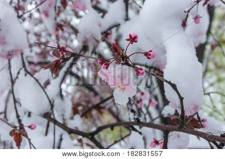 Branch of blossoming sakura tree under snow storm in April 2017 Dnepr city Ukraine