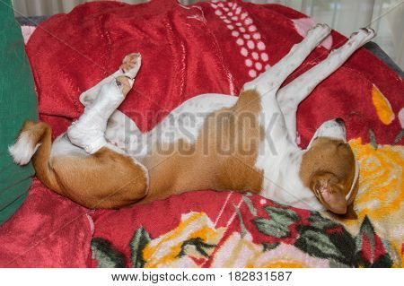 Poor Basenji dog with broken bandaged hind feet being in unusual sleeping pose on the sofa