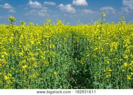 Flowering rape-seed field close-up located near Dnepr city in central Ukraine.