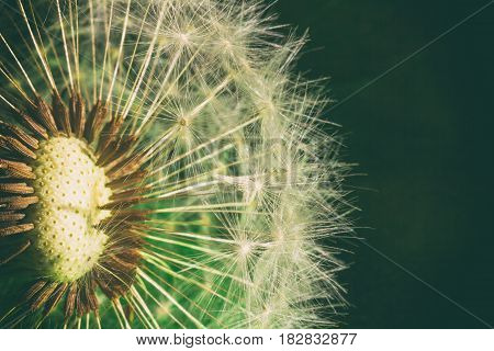Fluffy dandelion with parachute seeds on a green background close-up. Macro photo with toning
