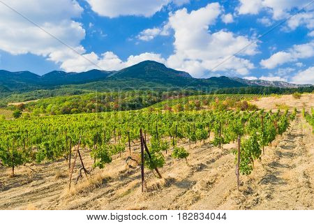 Crimean mountains vineyard and summer season .
