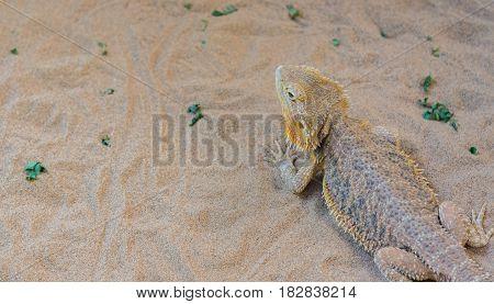 Image Of Bearded Dragon On Sand.