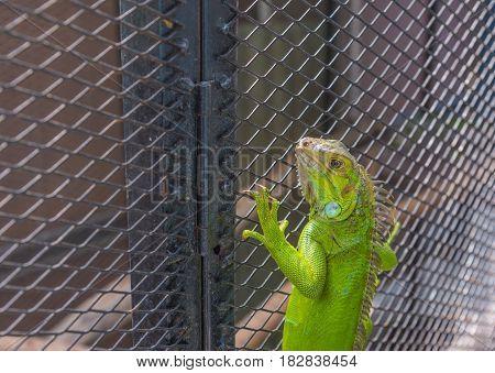 Image Of Green Iguana .