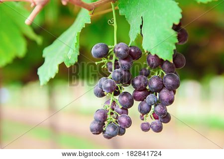 Grapes red fresh in the organic garden