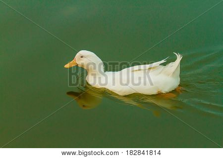 a duck swimming in a beautiful clear lake