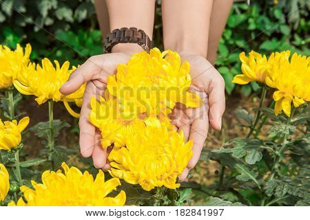 The first spring yellow flowers of mother-and-stepmother. A bouquet of flowers in his hand. Close-up. Nature.