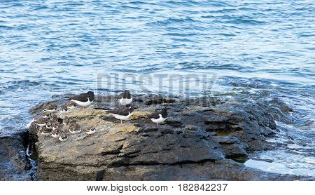 Oystercatchers and Turnstones resting on a rock