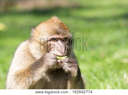 Portrait of a small Barbary Macaque feeding