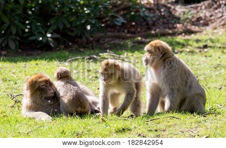 Group of Barbary Macaques in the sun with young