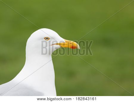 Close up portrait of a seagull looking sideways