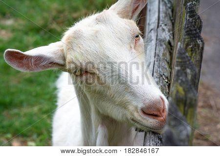 Animal life. Goat peeks over the fence.