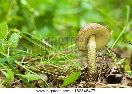 Orange cap bolete mushrooms growing in the green forest