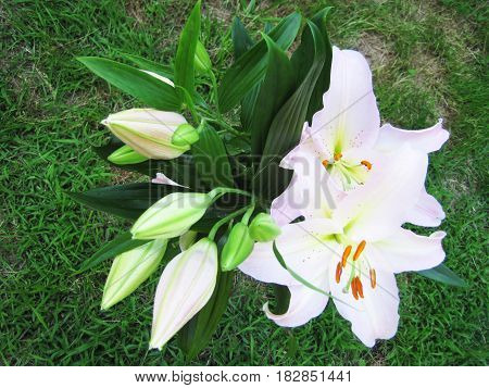 White Lilly On Green Background