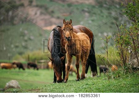 Adult Brown Horse And Foal Young Horse Grazing On Green Mountain Slope In Spring In Mountains Of Georgia.