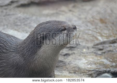 Cute profile of a river otter sticking his head up and smelling the air.