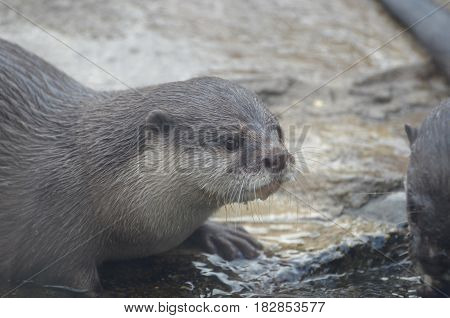 Water dripping from the chin of a river otter.