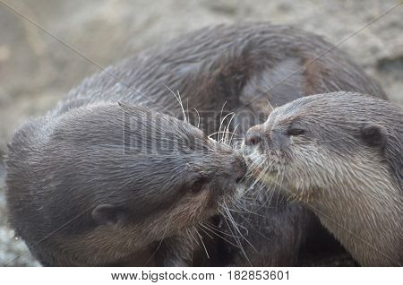 Kissing snuggling and cuddling pair of otters.