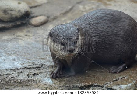 Really sweet face of a giant river otter on rocks.