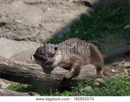 Adorable river otter sleeping on a fallen log.