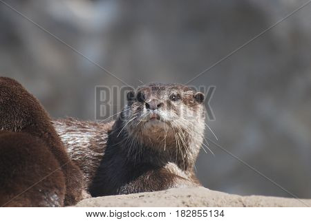 Gorgeous face of a river otter sitting on top of a rock.