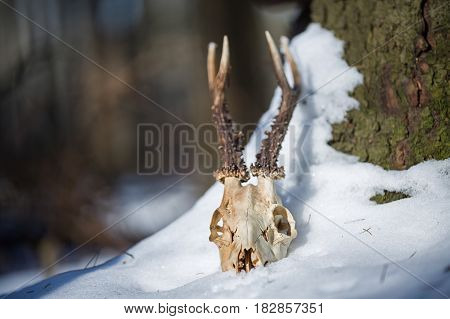 Roe deer skull with horns in the snow