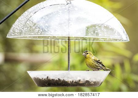 Siskin Bird Taking Cover For The Rain