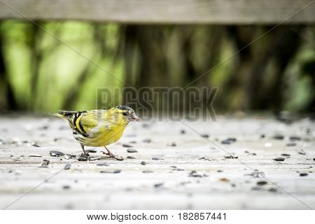 Siskin Bird In Yellow Colors Eating Bird Seeds