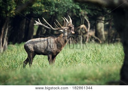 Big Red deer roaring beautiful closeup picture