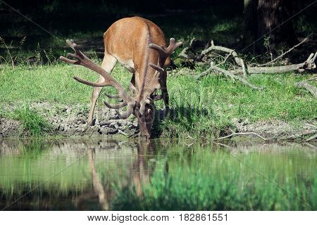 Red deer drinks from a peaceful lake