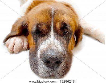 Dog saint bernard,s friend background animal good