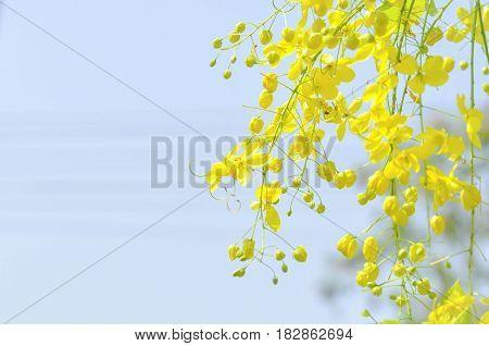 Golden shower Cassia fistula or pudding pipe flower