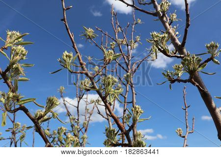 White blossom branch, plum fruit tree in spring with blue sky