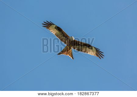 Red kite flying with wings spread and beady eyes in the Balagne region of Corsica against a deep blue sky