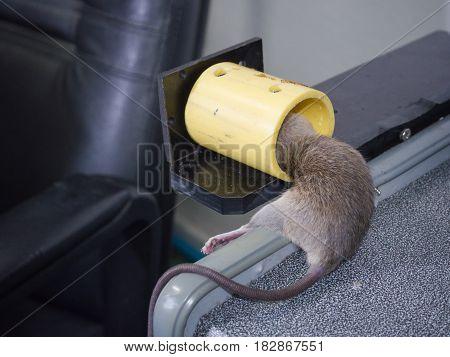 Rat dead in rattrap on wooden desk.