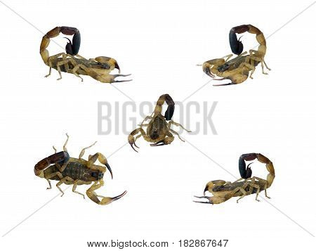 Scorpion isolated five shape on white color background.