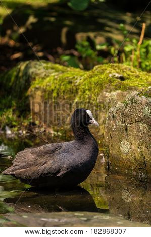 Black Coot. Swimming Coot. Close-up of a swimming black Coot. Coots (Fulica) at the Lake