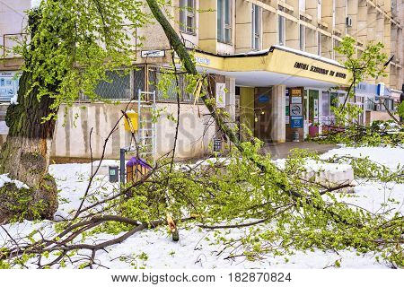 CHISINAU, MOLDOVA - APRIL 21, 2017: Falling tree on electrical wires, heavy snow on frozen city, spring anomaly, natural cataclysm, general emergency state, exceptional situation