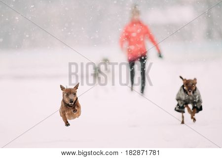 Red Brown Miniature Pinscher Pinchers Min Pin Playing And Running Together Outdoor In Snow, Winter Season. Playful Pets Outdoors.