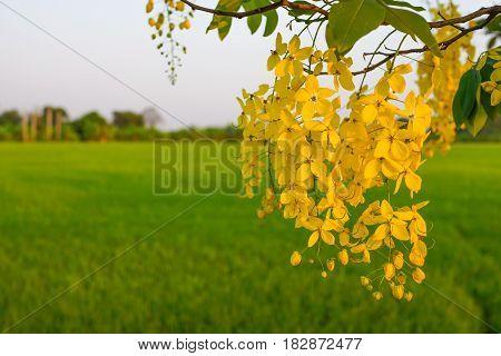 yelllow golden shower flower with green rice background sunset light