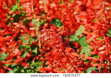 Salvia spiky red blooming on the field
