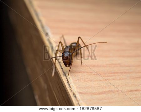 Close-up and front view image of worker Carpenter Ant (Camponotus Sp.) looking on wooden table